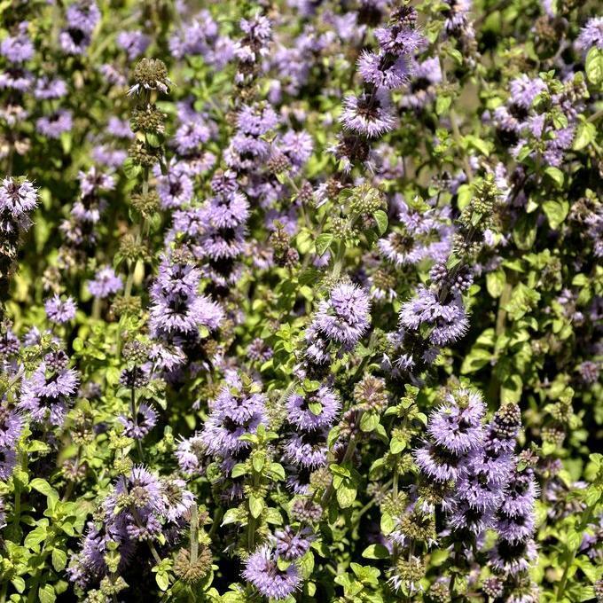 Variétés terrestres Menthe pouliot (Mentha pulegium)