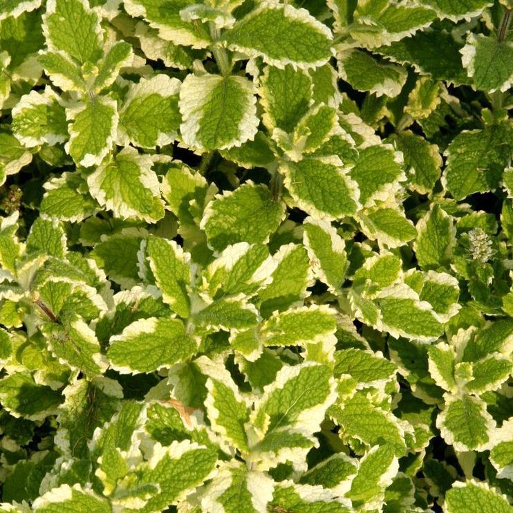 Variétés terrestres Menthe à feuilles rondes (Mentha suaveolens)