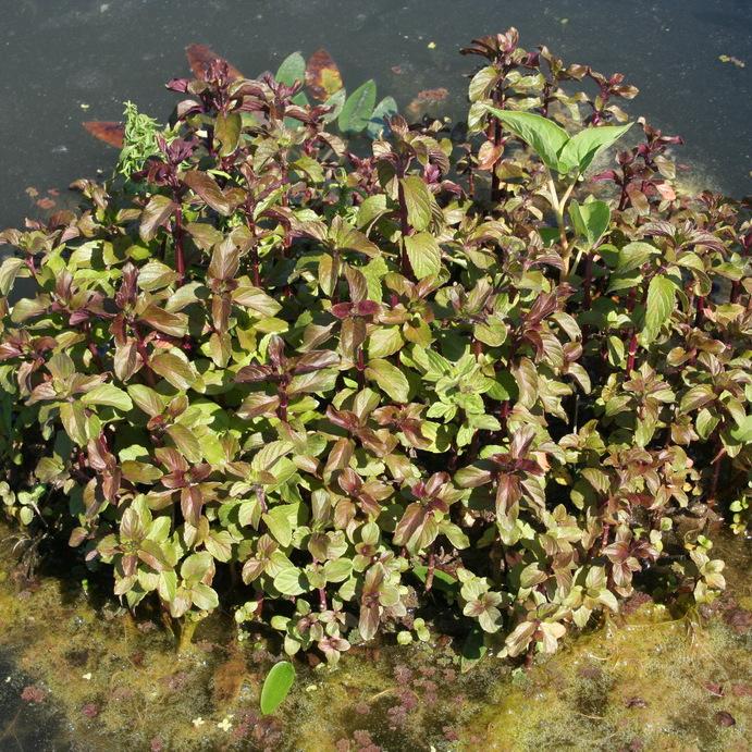 Variété aquatique Menthe aquatique, menthe d'eau, menthe à grenouille, baume de rivière, baume d'eau (Mentha aquatica)