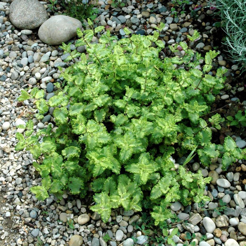 Variétés terrestres Menthe crispée (Mentha spicata 'Crispa')