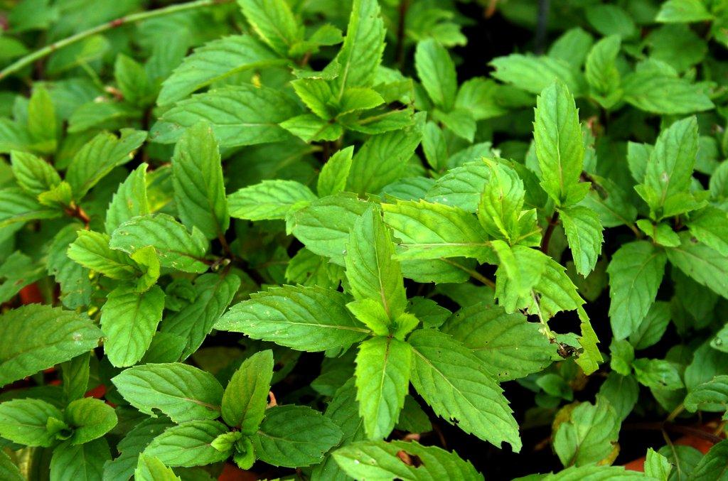 Menthe planter et cultiver ooreka for Type de plante