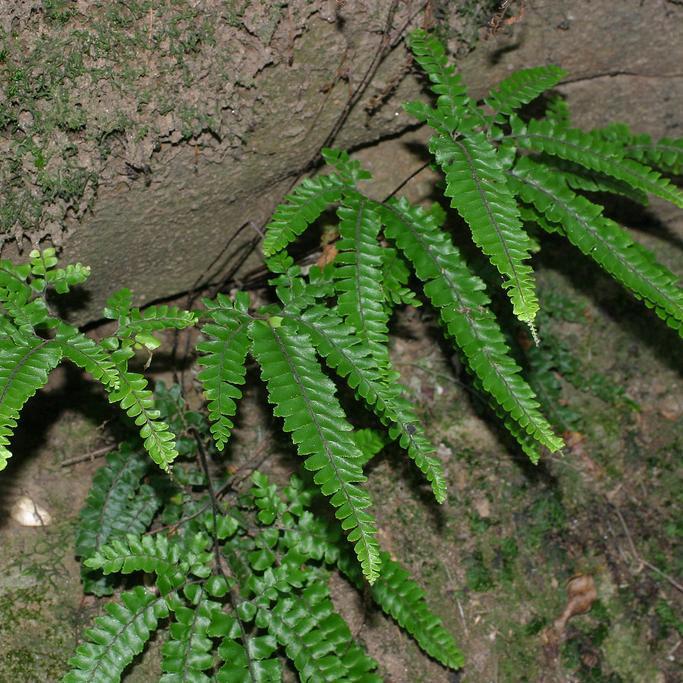 Fougère d'extérieur Adiantum hispidulum
