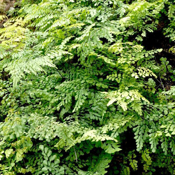 Fougère d'extérieur Capillaire chinoise (Adiantum venustum)