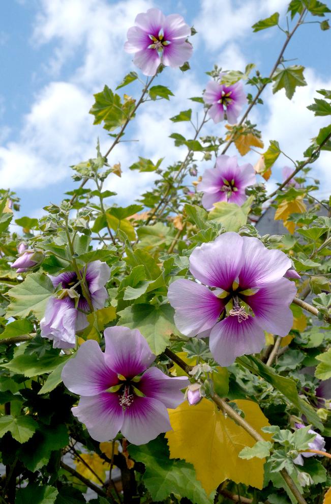 Anisodontea planter et cultiver ooreka for Plante lumineuse