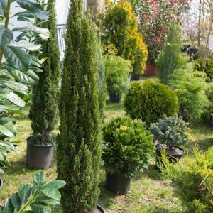 Tailles petites ou moyennes Cyprès d'Italie ou de Provence 'Totem' (Cupressus sempervirens 'Totem')