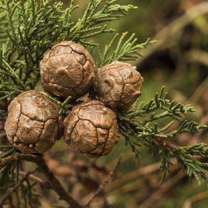 Autres variétés Cyprès de Lambert (Cupressus macrocarpa)