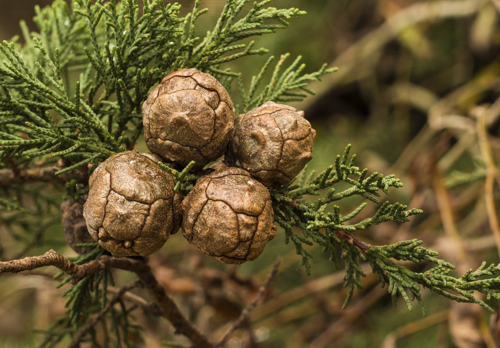 Cypr 232 S Planter Et Tailler Ooreka