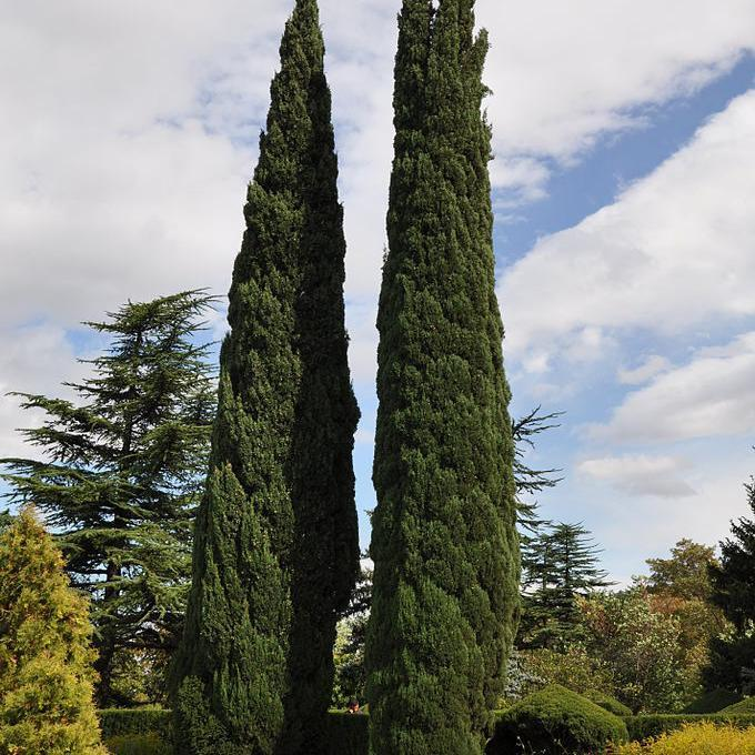 Tailles petites ou moyennes Cyprès de Provence horizontal (Cupressus sempervirens 'Horizontalis')