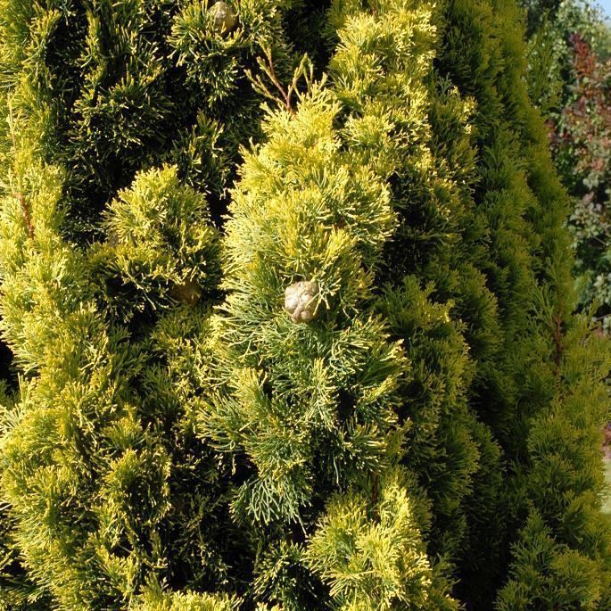 Autres variétés Cyprès de Provence ou de Toscane (Cupressus sempervirens)