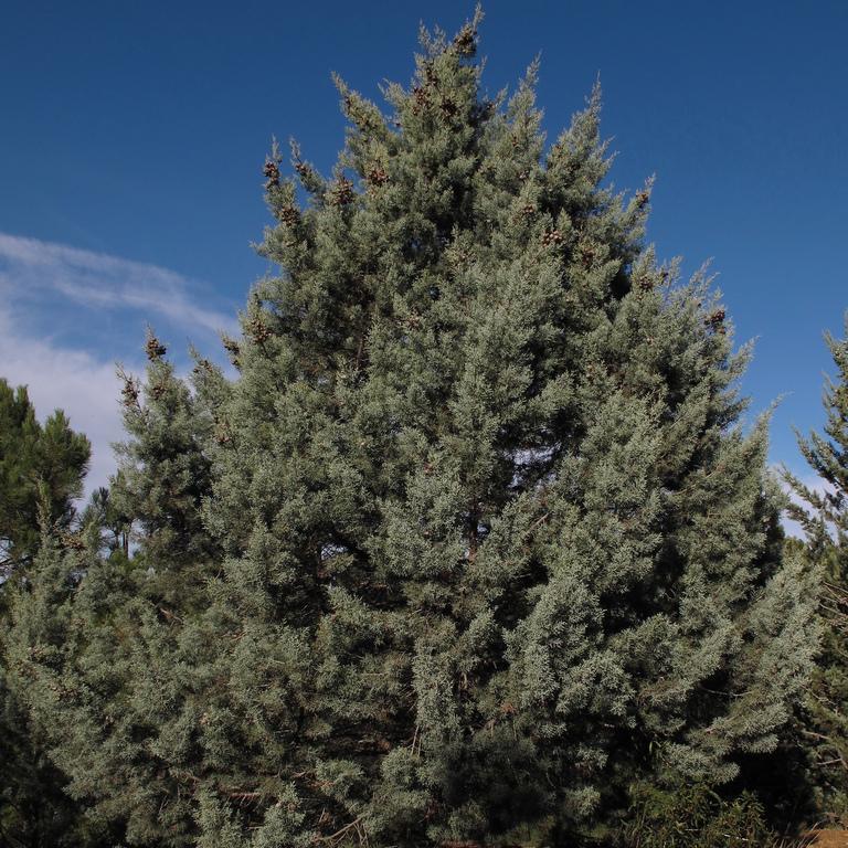 Autres variétés Cyprès de l'Arizona fastigié (Cupressus arizonica 'Fastigiata')