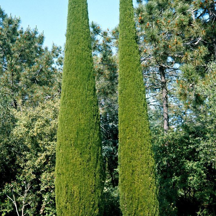 Autres variétés Cyprès d'Italie (Cupressus sempervirens 'Stricta')