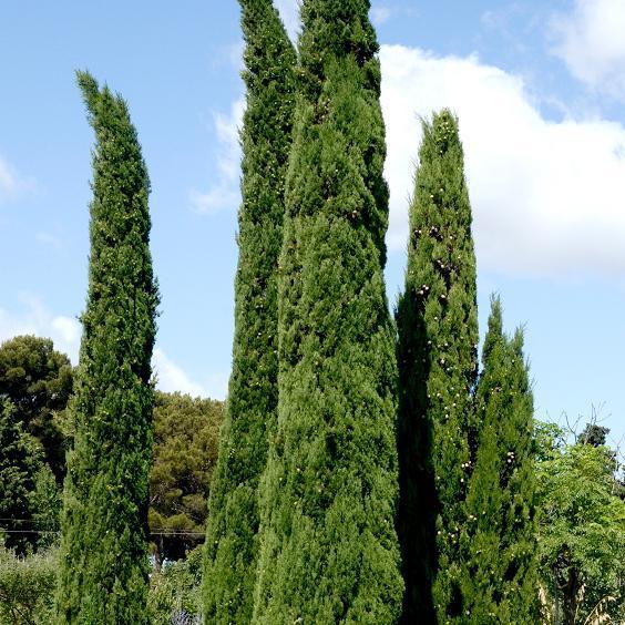 Autres variétés Cyprès de Provence 'Mistral' (Cupressus sempervirens 'Mistral')