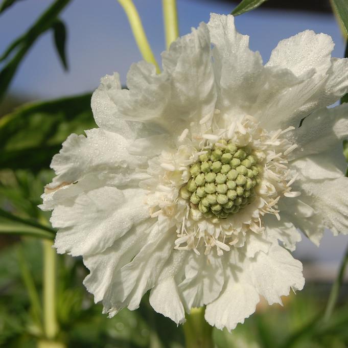Scabieuse du Caucase (Scabiosa caucasica) 'Alba'
