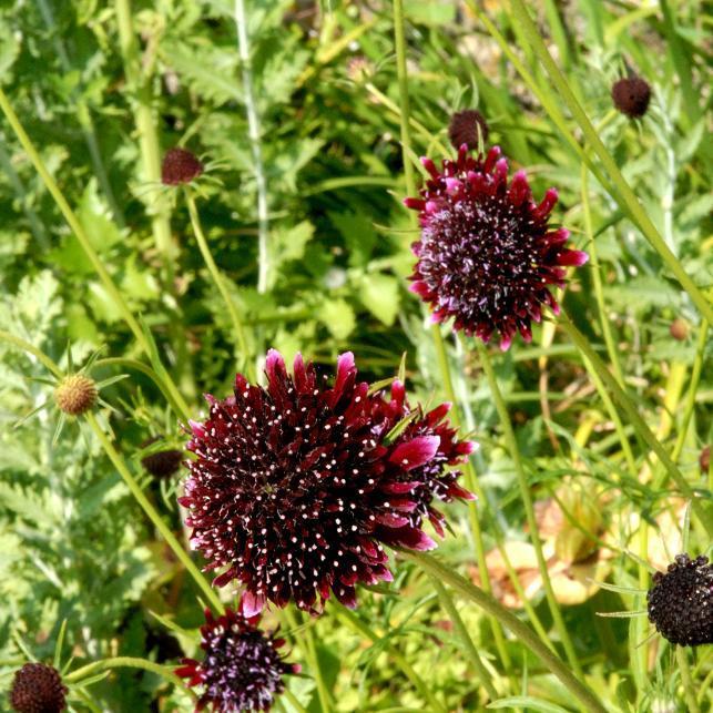 Scabieuse des jardins (Scabiosa atropurpurea)