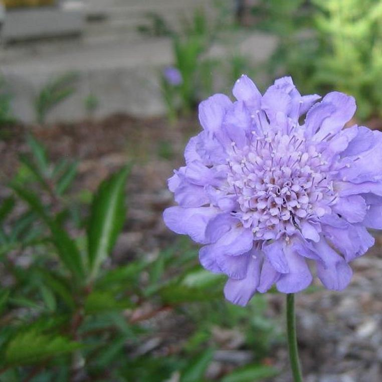 Scabieuse colombaire (Scabiosa columbaria) 'Butterfly Blue'