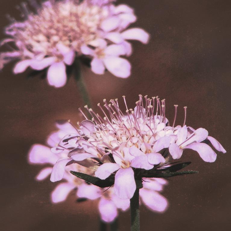 Scabieuse colombaire (Scabiosa columbaria) 'Pink Mist'