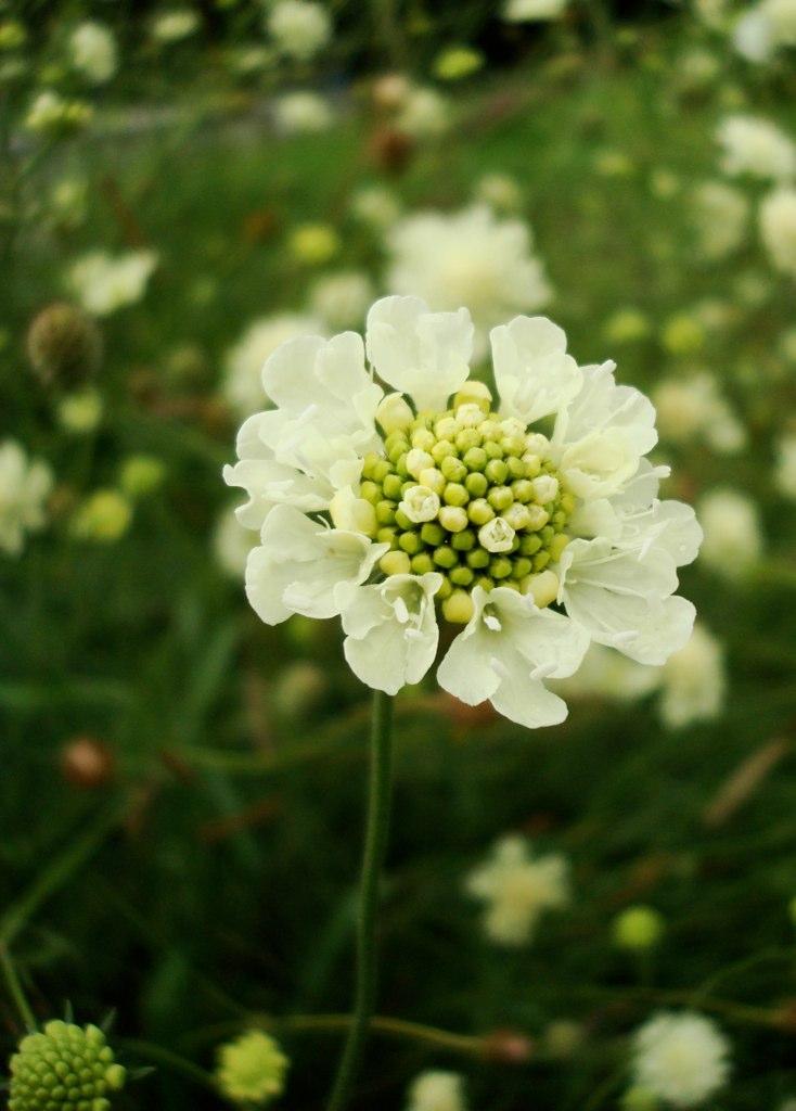 Scabieuse planter et cultiver ooreka for Ou trouver de belles plantes artificielles