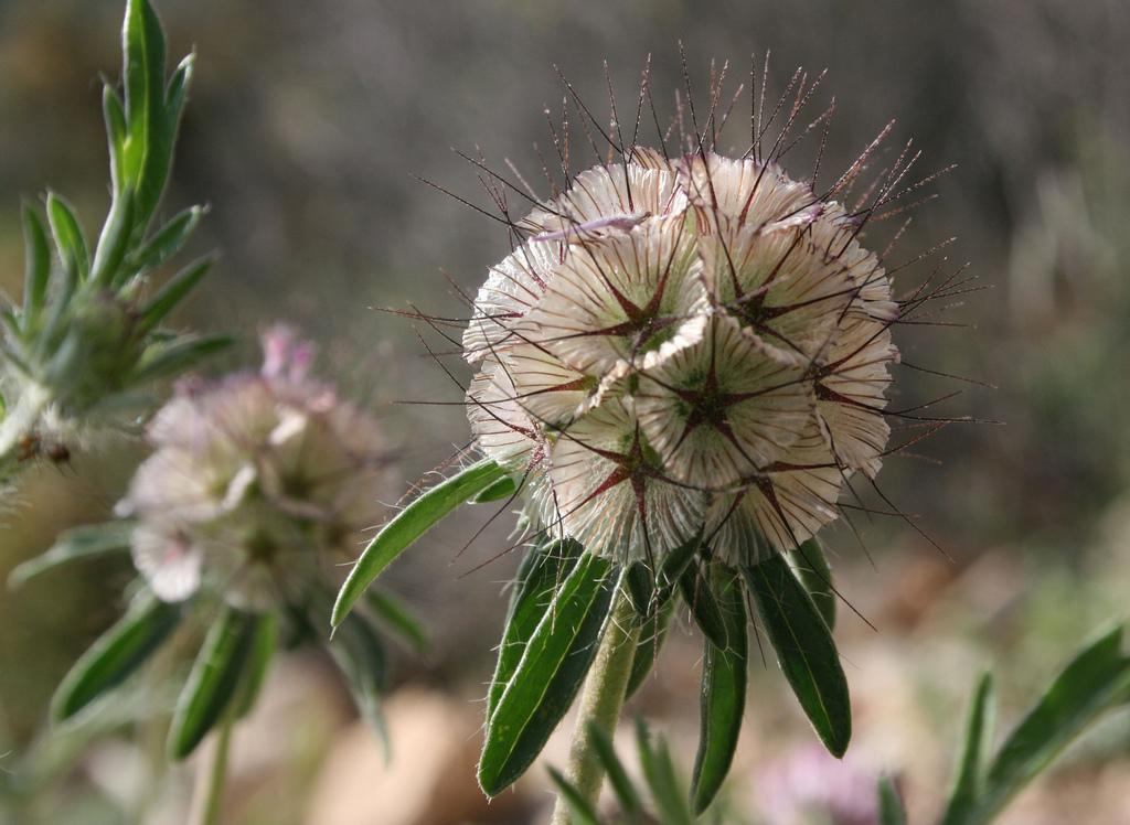 Scabieuse planter et cultiver ooreka - Fleur a planter ...