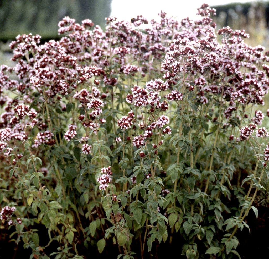 Origan planter et cultiver ooreka for Plante zaatar