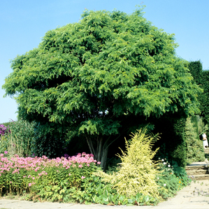 Plantation du robinier