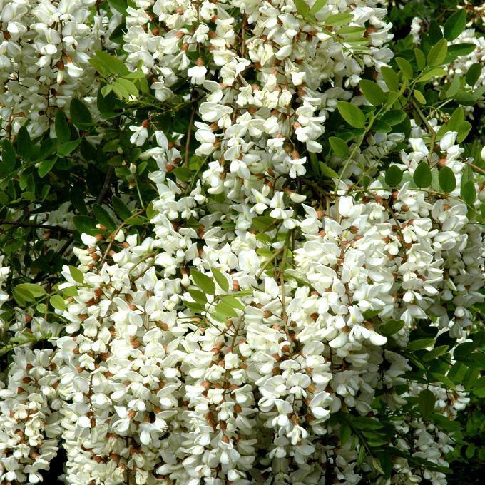 Robinia pseudoacacia Robinier faux acacia