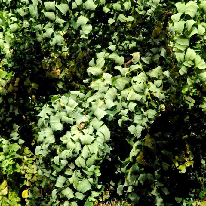 Robinia pseudoacacia Acacia tortueux nain (Twisty Baby®, syn. Lace Lady®)