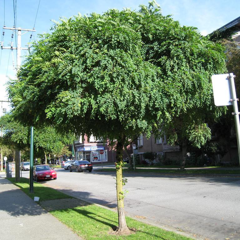 Robinia pseudoacacia Acacia boule 'Umbraculifera'