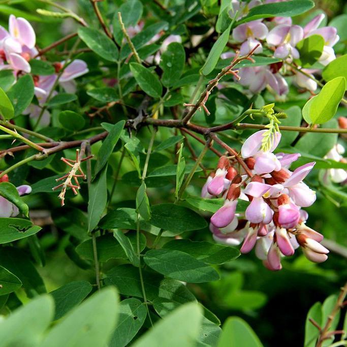 Robinia hispida Acacia rose