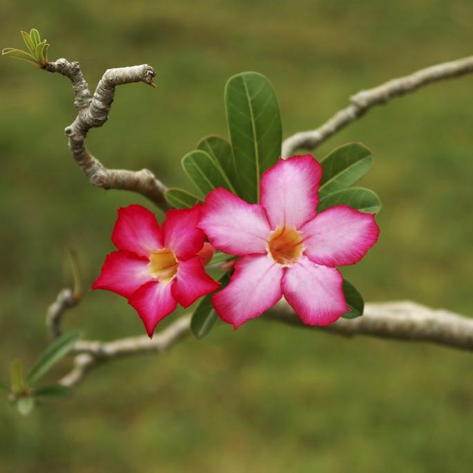 Espèce type Rose du désert (Adenium obesum, syn. A.o.subps. obesum, A.multiflorum, A.coetanum)