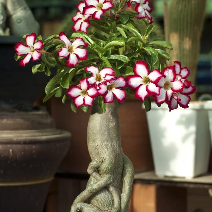 Hybride Adenium x 'Costa Picotee'