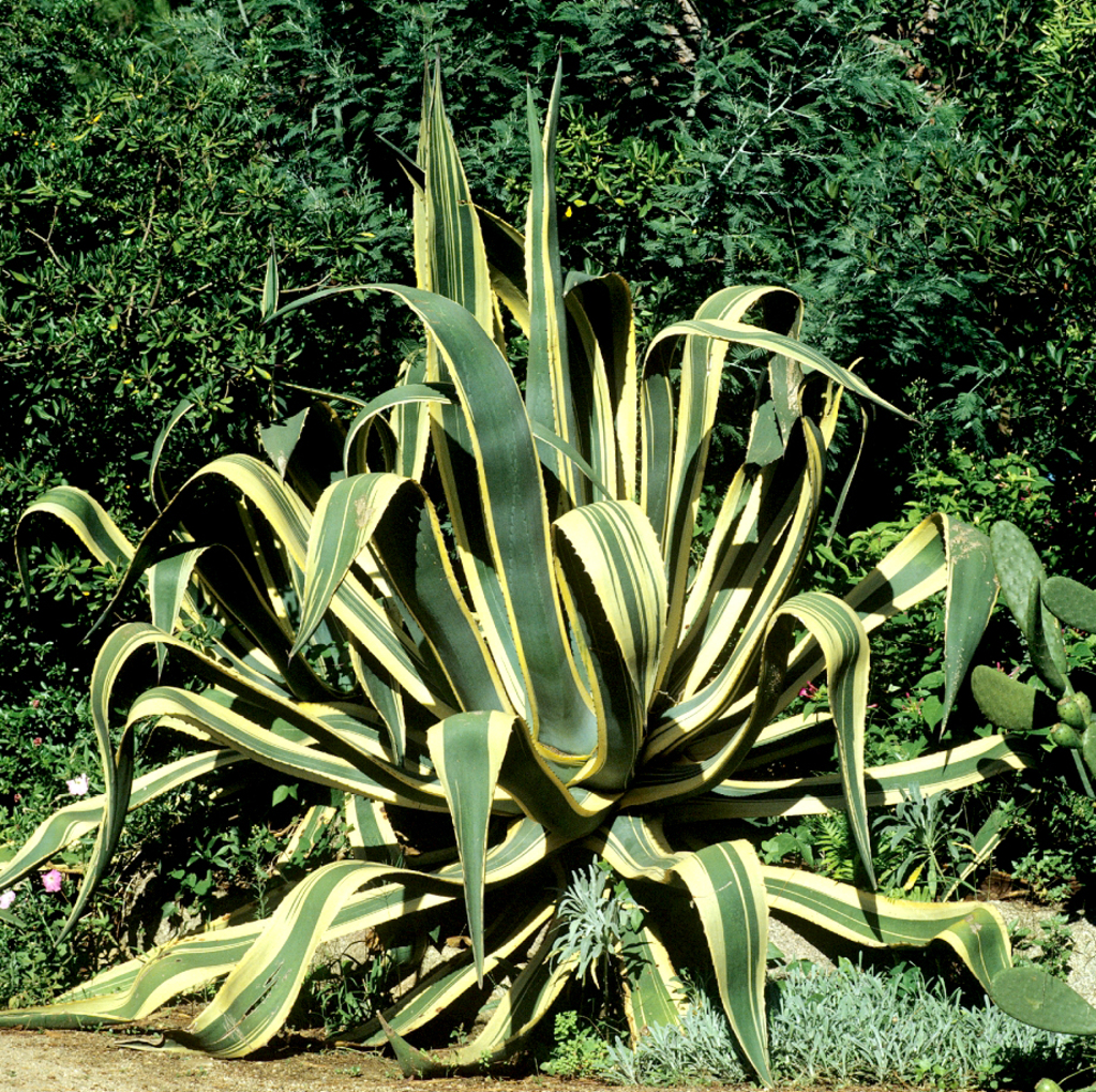 Agave planter et cultiver ooreka for Protection plante gel