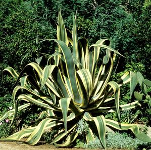Culture et entretien de l'agave