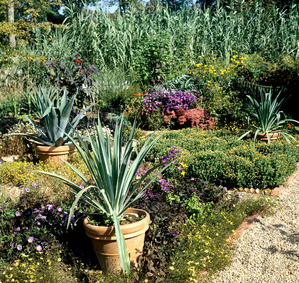 Plantation de l'agave