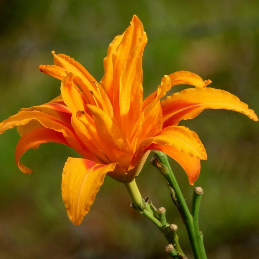 Hybrides moyens Hemerocallis fulva 'Flore Pleno', syn. 'Kwanso Flore Pleno'