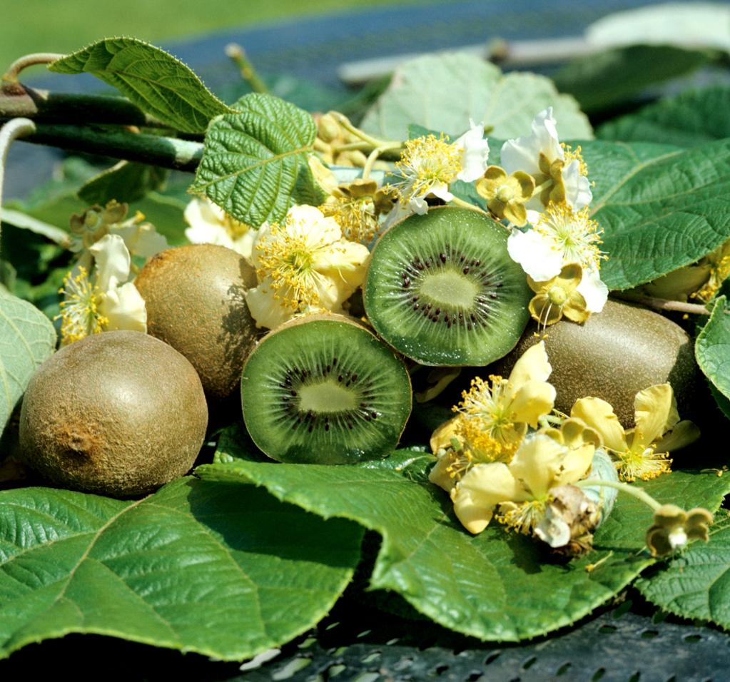 kiwi : planter et tailler – ooreka
