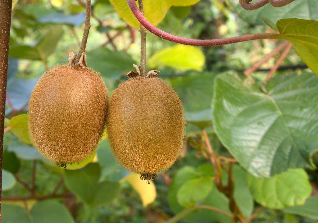 planter un kiwi autofertile jenny