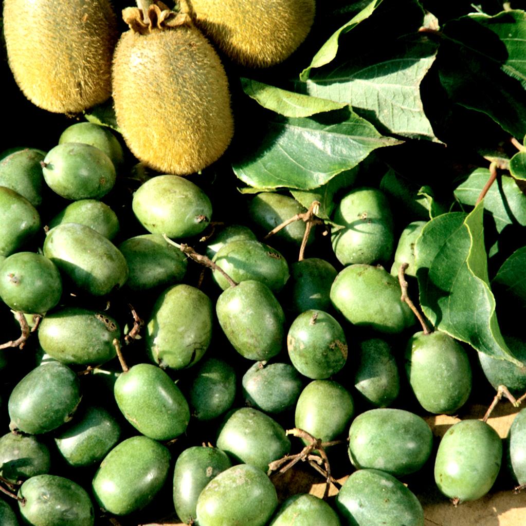 kiwi   planter et tailler  u2013 ooreka