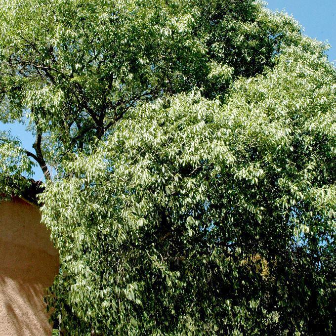 Micocoulier de Provence (Celtis australis)