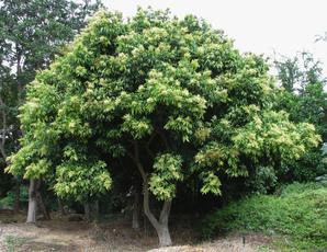 Plantation de <em>Sapindus mukorossi</em>