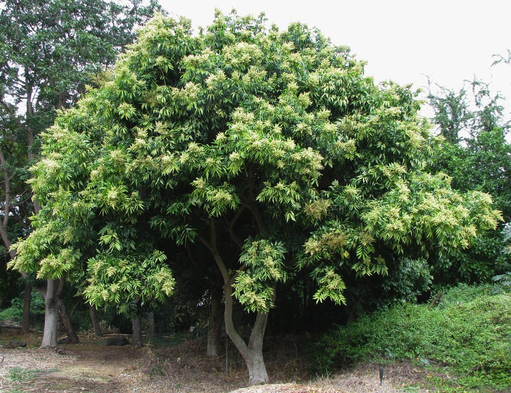 Noix de lavage planter et cultiver ooreka for Plante western