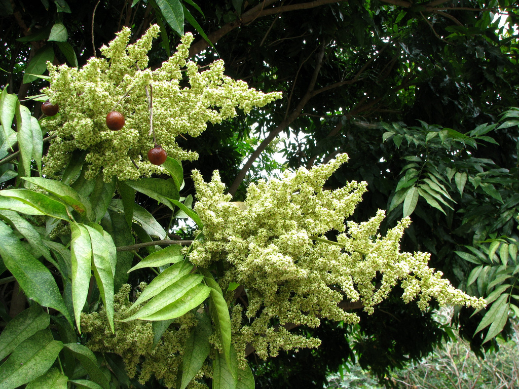 Noix de lavage (Sapindus mukorossi)