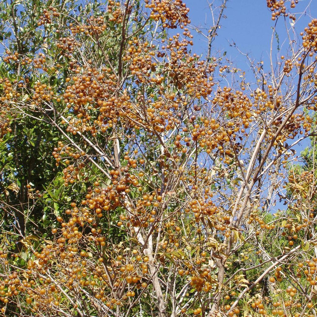 Sapindus drummondii (syn. S. saponaria var. drummondii, S. marginatus)