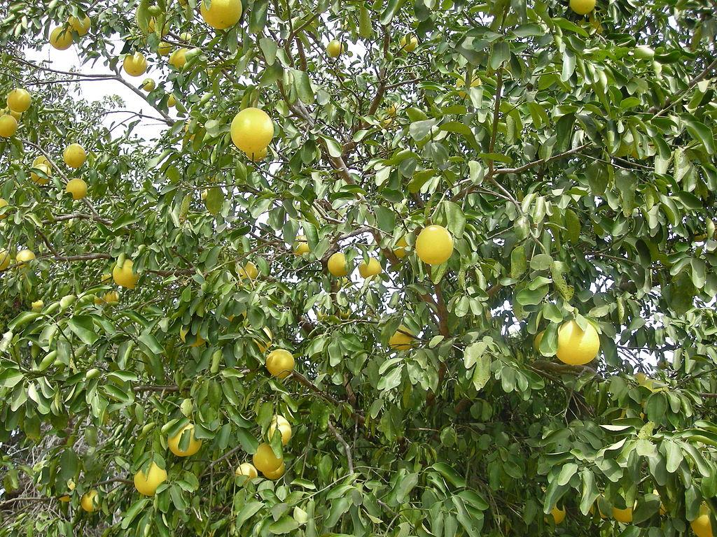 Pamplemoussier planter et cultiver ooreka for Cultiver des autoflo en interieur