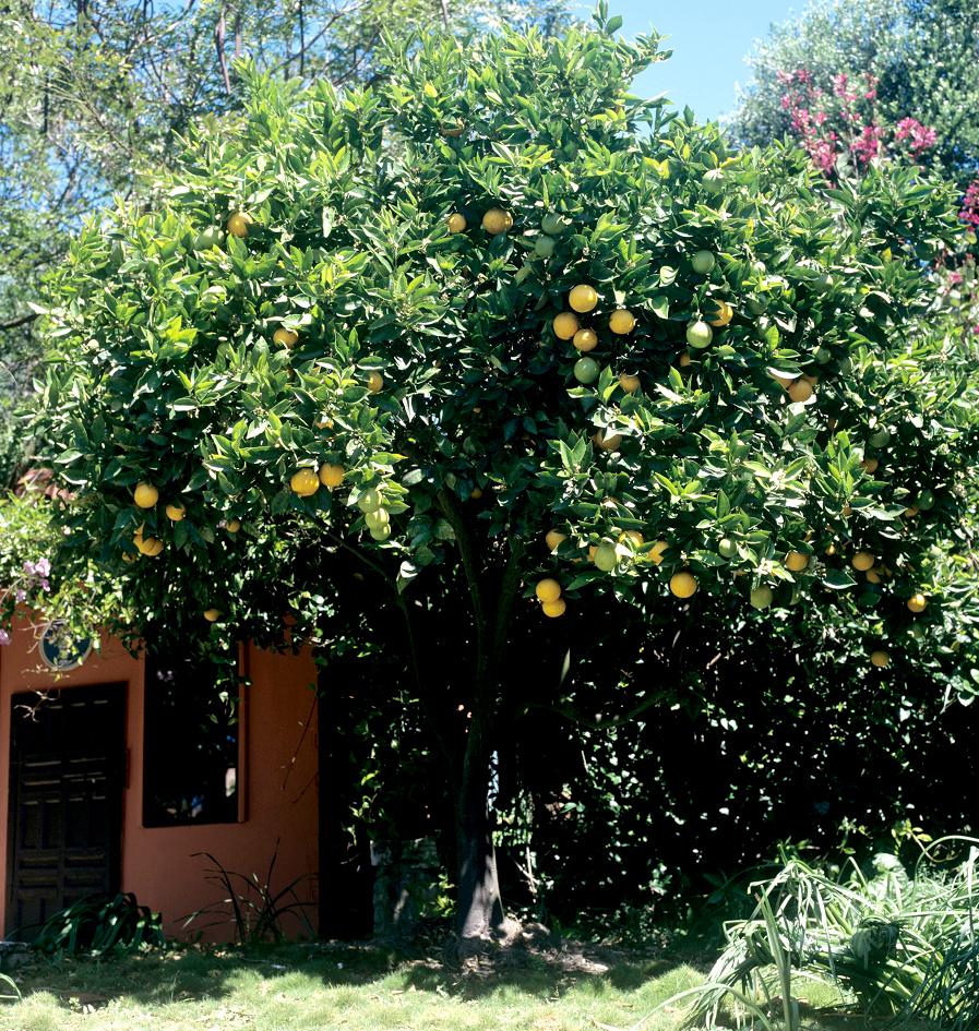 Arbre Fruitier En Pot Interieur pamplemoussier : planter et cultiver – ooreka