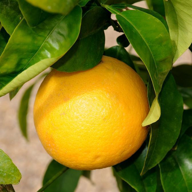 Grapefruit ou pomelo (Citrus x paradisi) Pamplemousse sanguin