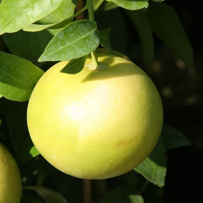 Grapefruit ou pomelo (Citrus x paradisi) Pamplemousse pomelo