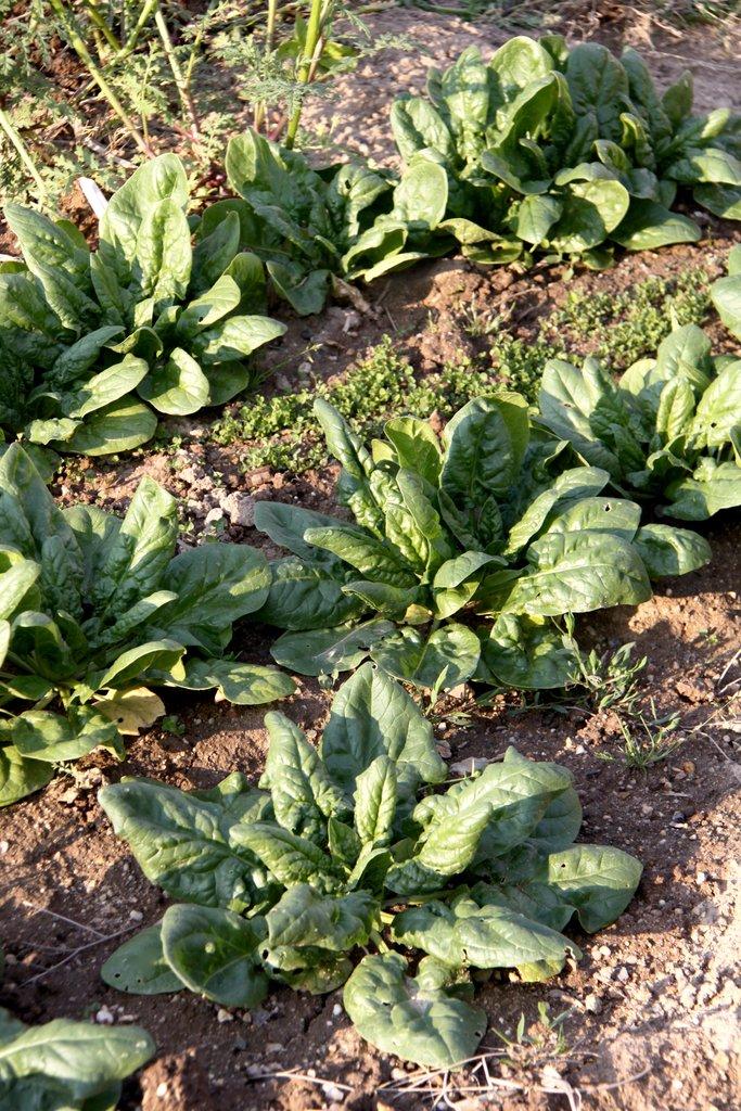 Oseille semer et planter ooreka for Plante ornementale