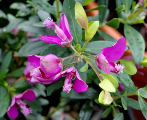 Multiplication du polygala à feuille de myrte
