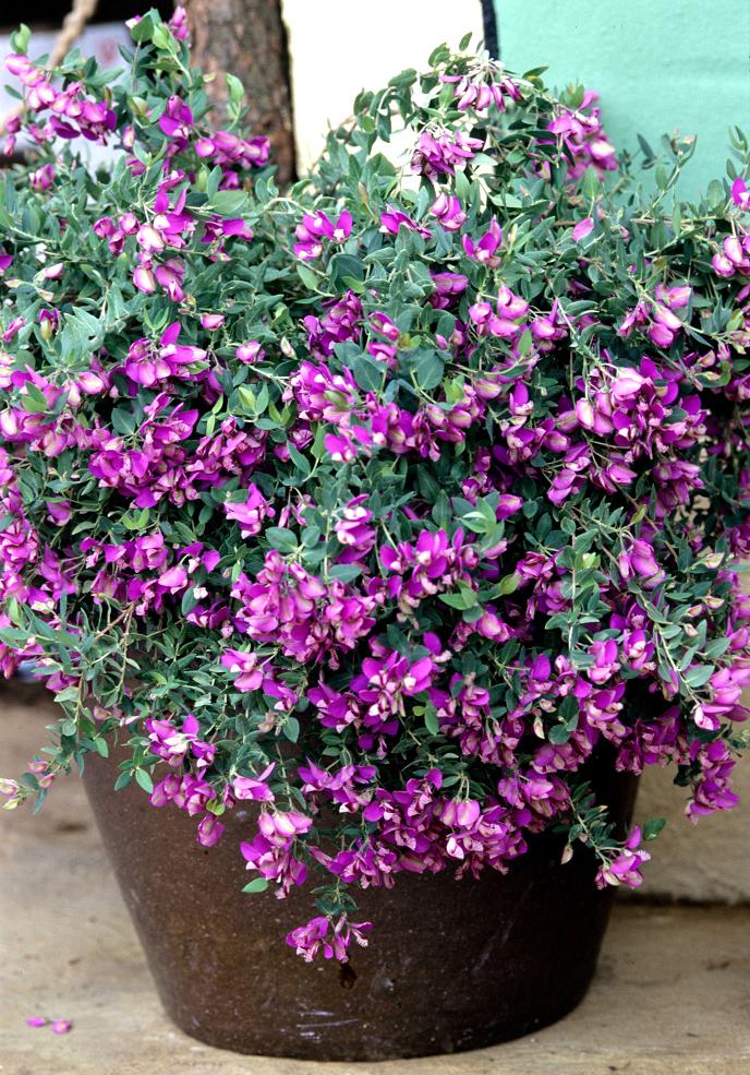 Loropetalum : planter et cultiver - Ooreka