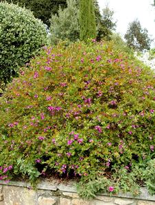 Polygala planter et cultiver les polygalas - Polygala myrtifolia feuilles jaunes ...